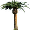 palm-tree | palmier