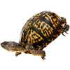 the turtle | la tortue